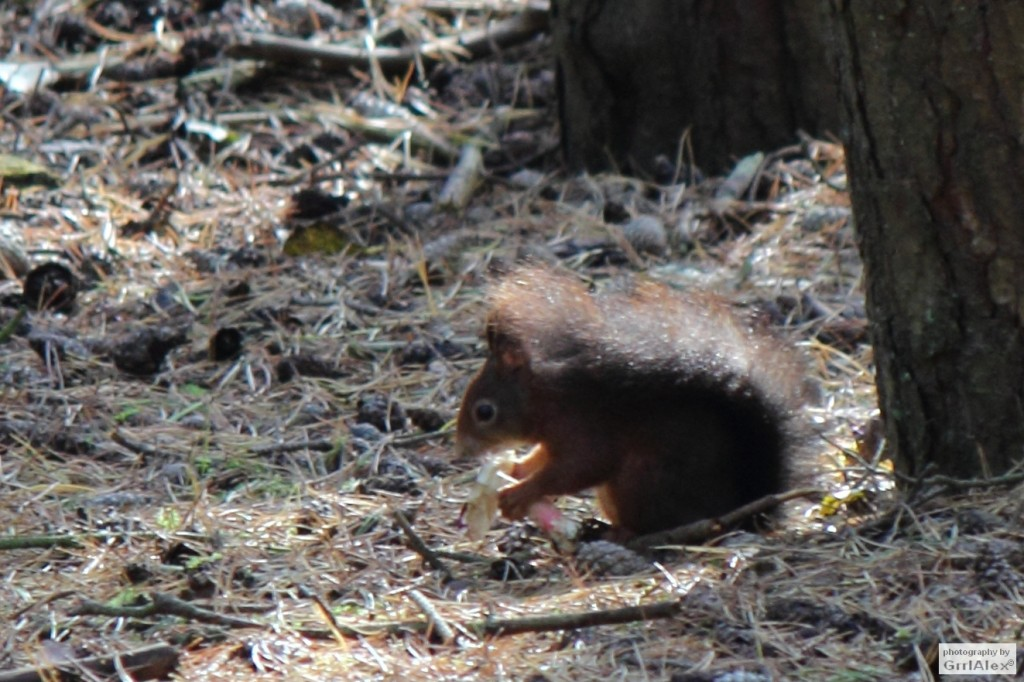 red squirrel eats mushroom